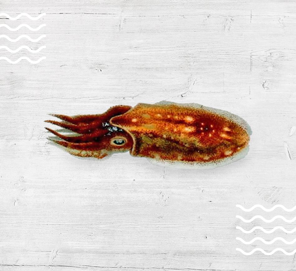 Elegant Cuttlefish